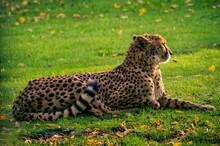 Cheetah Relaxing On Land