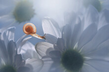 Close-Up Of A Miniature Snail On A White Flower, Indonesia