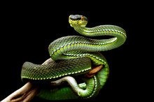 Portrait Of A Green Viper Snake On A Branch, Sumatra, Indonesia