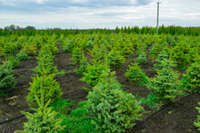 Plant Nursery. Growing Seedlings Of Coniferous Trees. Landscape Of Young Fir Trees Landed In Rows.
