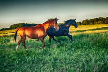 Two Horses Running Through A Meadow At Sunset, Poland