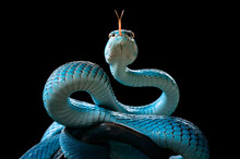 Portrait Of A Turquoise Pit Viper Snake On A Branch, Indonesia