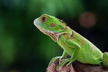 Portrait Of A Green Iguana On A Branch, Indonesia