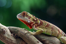 Baby Super Red Iguana On A Branch, Indonesia