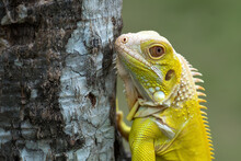 Close-up Of A Yellow Albino Iguana On A Tree, Indonesia