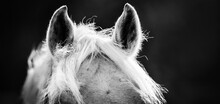 The Ears And The Horse's Mane Close Up Against A Dark Background