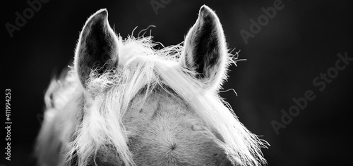 Fotografiet The ears and the horse's mane close up against a dark background