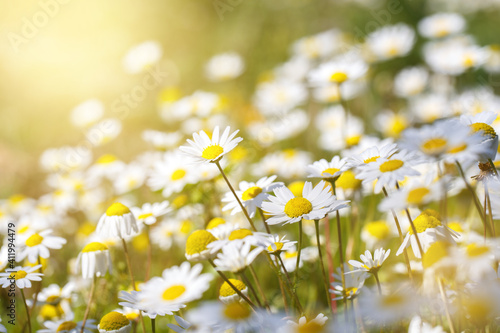 Vászonkép Daisy flower field