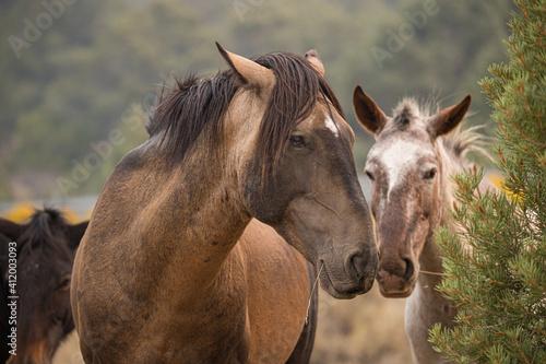 Fototapeta wild horse stallion with herd obraz