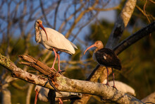 Young Ibis In A Tree