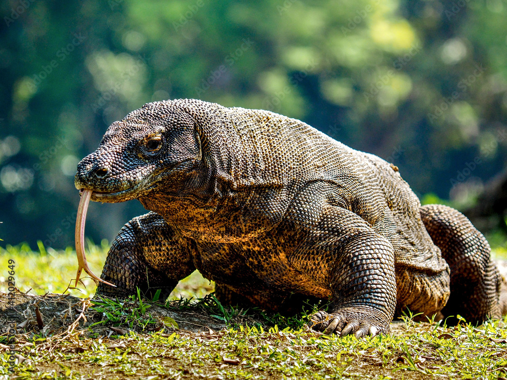 Fototapeta Close-up Of A Komodo Dragon On Field