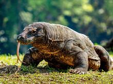 Close-up Of A Komodo Dragon On Field