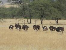 Herd Of Ostrich In Dry Grass