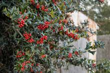 Holly Berries On Tree