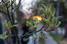 Kangaroo Paw Sunset
