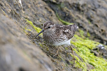 Least Sandpiper Searching For Meal