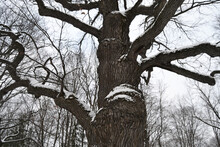 Ancient Oak Tree With Mighty Branches In The Forest