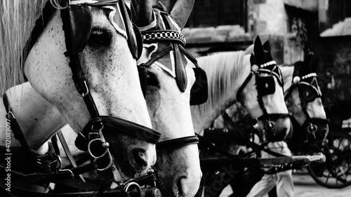 Valokuva White Horses