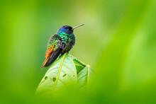 Blue Head Hummingbird. Golden-tailed Sapphire, Chrysuronia Oenone, Sumaco Napo-Galeras National Park In Ecuador. Green Blue Head Hummingbird Sitting On The Branch In Forest Habitat. Wildlife Ecuador.