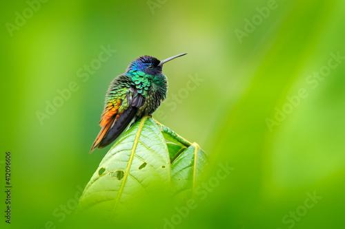 Fototapeta premium Blue head hummingbird. Golden-tailed Sapphire, Chrysuronia oenone, Sumaco Napo-Galeras National Park in Ecuador. Green blue head hummingbird sitting on the branch in forest habitat. Wildlife Ecuador.