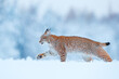 canvas print picture - Winter wildlife in Europe. Lynx in the snow, snowy forest in February. Wildlife scene from nature, Germany. Winter wildlife in Europe.