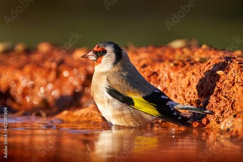 Fotografía Goldfinch in the water, evening light