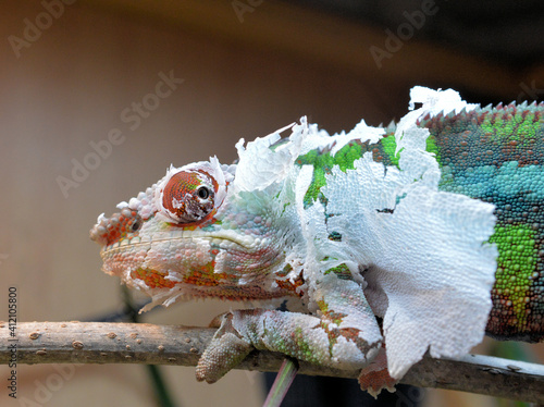 Close-up Of Chameleon Shedding Its Skin