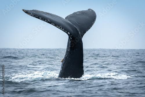 Fototapeta Humpback whale in Puerto Lopez, Ecuador obraz