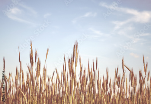 Fototapeta Retro toned picture of a grain field, selective focus. obraz