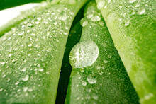 Macro Of Dew Drops On Leaves Of Succulent Plant