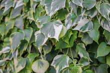 Closeup Shot Of Blooming Colchis Ivy Leaves