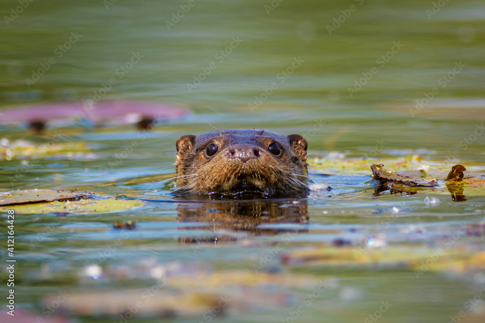 Fototapeta The Otter Swimming On The Drava River