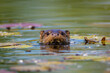 The Otter Swimming On The Drava River