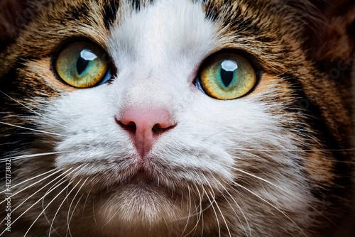 Fototapety, obrazy: a cat portrait close up