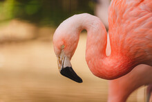Portait Of A Pink Chilean Flamingo (Phoenicopterus Chilensis), A Wading Bird From The Family Phoenicopteridae