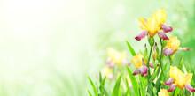 Iris Flowers On Sunny Beautiful Nature Spring Background