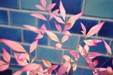Leaf Of Southern Sky (heavenly Bamboo Or Nandina Domestica) On A Blurred Blue Background - 南天 葉