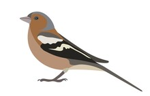Male Of The Common Chaffinch, Simply The Chaffinch (Fringilla Coelebs) Isolated On White
