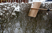 Covered With Snow Hedge, It Is Possible That The Weight Of The Snow Would Bend And Deform It. It Is Necessary To Knock It Properly After Each Snowfall, Otherwise There Is A Risk Of Damage And Breaking