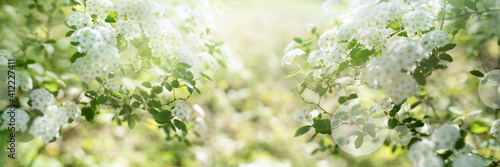 Canvas White blooming spirea shrub in sunny spring