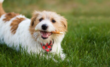 Healthy Cute Happy Pet Dog Chewing Dental Snack Treat, Cleaning Plaque From His Teeth. Tartar Prevention Concept.