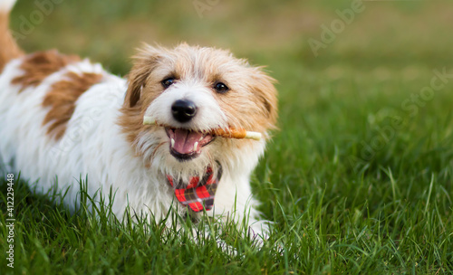 Fototapeta Healthy cute happy pet dog chewing dental snack treat, cleaning plaque from his teeth