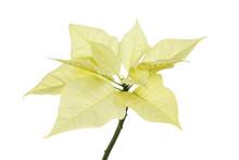 Poinsettia Against White