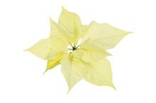 Cream Poinsettia Leaves