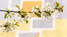 The Beauty And Aroma Of The White Fragile Flower Of The Wild Apple Tree Against The Wall Background With Colorful Geometric Pattern.