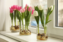 Beautiful Tulips With Bulbs On Window Sill Indoors