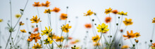 Closeup Of Yellow And Orange Cosmos Flower On Blurred Green Leaf Background Under Sunlight With Copy Space Using As Background Natural Flora Landscape, Ecology Cover Page Concept.
