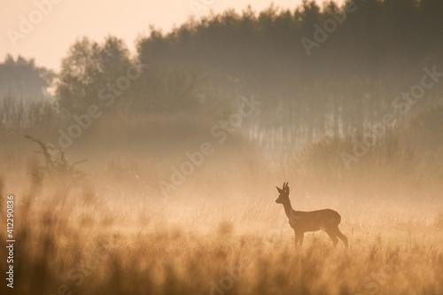 Stampa su Tela roe deer in the morning