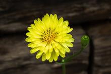 Texas Dandelion Yellow Flower On A Black Background.