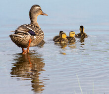 Mother Duck And Cute Little Ducklings Swimming Together In Blue Pond On A Sunny Afternoon.